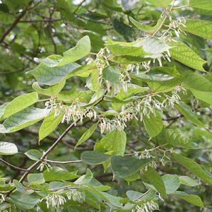 Alangium chinensis